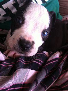 #pitbull #dogs