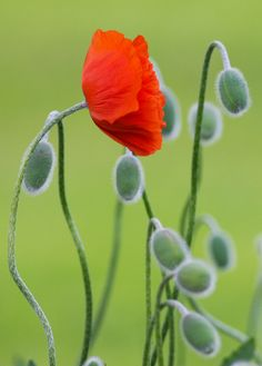 poppy #nature #orange