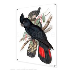 This finely detailed bird art print features a pair of red-tailed black cockatoos, Calyptorhynchus banksii, originally illustrated by John Gould