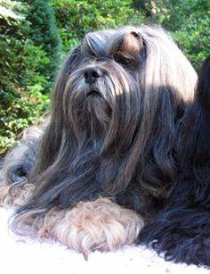 Lhasa apso Pokhara Jobo Lobsang The Animals, Cute Little Puppies, Cute Puppies, Cute Dogs, Shih Tzu Puppy, Shih Tzus, Tibetan Dog, Chinese Dog, Kennel Ideas