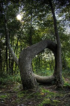 Circle of Life……..JUST THINK HOW MANY YEARS IT TOOK THIS TREE TO GROW IN THIS UNCANNY POSITION……MOTHER NATURE - YOU'VE DONE IT AGAIN………ccp