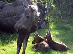 Two moose calves and mom play in a backyard sprinkler