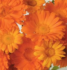 Alpha Calendula are clear, bright orange blooms are reminiscent of gerbera daisies.  High resin content for medicinal use. Organically grown. Ht. 24-30 inches.  Flowers are edible.  Plants can be grown in containers.  Good variety to choose for fresh cut Flowers displays.  Ready to harvest in 50-60 days.