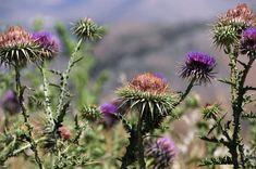 Γαϊδουράγκαθο: Γιατί προστατεύει το συκώτι καλύτερα κι από φάρμακο Dandelion, Flowers, Plants, Dandelions, Plant, Taraxacum Officinale, Royal Icing Flowers, Flower, Florals