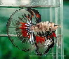 Type of Betta Fish. If you are like me and have a strong passion for freshwater aquariums, you have probably considered incorporating Betta fish to your tank. I'm sure you've heard how wonderful Bettas are and how beautiful they can be. Another reason to Pretty Fish, Beautiful Fish, Animals Beautiful, Betta Fish Types, Betta Fish Care, Betta Aquarium, Colorful Fish, Tropical Fish, Carpe Koi