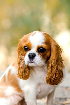 A Cavalier will dog your steps throughout the day, from kitchen area to bathroom to home office and back once again and prefers not to be left alone for hours on end. The perfect home is one with a stay-at-home moms and dad, work-at-home partner or retired couple. Training Your Dog Can Be Simple As Soon As You What You're Doing If you're looking over this article, then you certainly are planning to train your pet and learn all you can regarding how to do so. You will see what you wan King Charles Spaniel, Cavalier King Charles, Spaniel Puppies, Baby Puppies, Dog Spay, Dog Barking, Training Your Dog, Best Dogs, Little Dogs