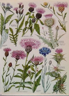 1965 Vintage Book Plate Featuring Exotic British Flowers and Plants Including: Scottish Thistle, Milk Thistle, Star Thistle, Knapweed