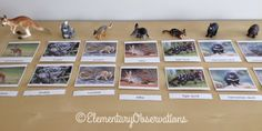 Australian animal nomenclature - free cards from Montessori printshop and figures from MiniZoo.com.au Montessori Elementary, Free Cards, Australian Animals, Social Studies, Geography, Cosmic, Photo Wall, Classroom, The Unit