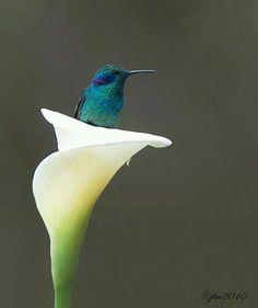 colibri sur genre fleur datura