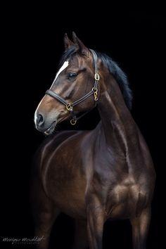 Back in Black – meschkat-fotografies website! Back in Black – meschkat-fotografies Webseite! - Art Of Equitation Black Horses, Wild Horses, Brown Horse, Cute Horses, Pretty Horses, Horse Photos, Horse Pictures, Most Beautiful Horses, Animals Beautiful