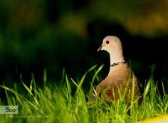 Eurasian Collared dove by mariomelletti. Please Like http://fb.me/go4photos and Follow @go4fotos Thank You. :-)