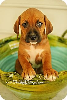 Raleigh, NC - Treeing Walker Coonhound/Beagle Mix. Meet Magnus a Puppy for Adoption.