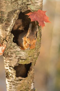 red squirrel standing in hollow tree