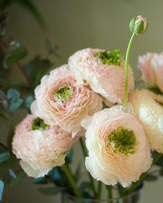 Цветы / Прекрасный Ranunculus asiaticus . Обсуждение на LiveInternet - Российский Сервис Онлайн-Дневников