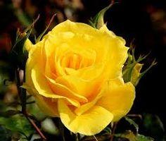 Rosa Amarela Pesquisa Google