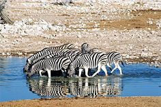 Zebras at a watering hole in Etosha National Park, Namibia
