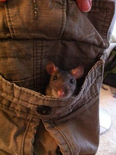 Anyone else do this? My rats love my jumper pockets! I'm not complaining =P especially in winter, the cutest source of warmth ever!