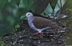 Pallid Dove (Leptotila pallida) Walking around under the feeders.