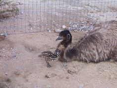 Baby Emu with Proud Papa Emu. KQCK Radio & Television Network www.kqck.com