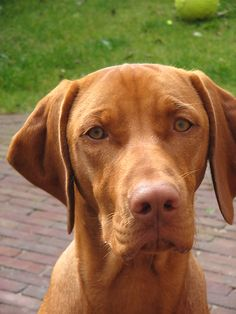Vizsla dog art portraits, photographs, information and just plain fun. Also see how artist Kline draws his dog art from only words at drawDOGS.com He also can add your dog's name into the lithograph.
