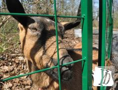 Gifford Pinchot State Park is hosting goats                  during spring week days to thin out unwanted weeds in parts of the campground. The goats are brought in every morning and allowed to graze inside a small fence area and then taken back to a local farm in the late afternoon.   Bil Bowden photos