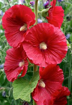 Specializing in rare and unusual annual and perennial plants, including cottage garden heirlooms and hard to find California native wildflowers. All Flowers, Exotic Flowers, Amazing Flowers, Beautiful Flowers, Bloom, Hollyhocks Flowers, Zinnias, Garden Plants, Flowering Plants