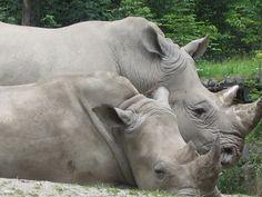 Rhinos no jardim zoológico Hellbrunn Elephant, Animals, Zoological Garden, Salzburg, Pictures, Animales, Animaux, Elephants, Animal