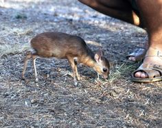 Royal antelope being all cute…