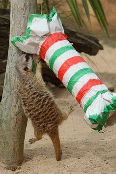 Taronga Zoo Animals Receive Enrichment Treats For Christmas - Pictures - Zimbio