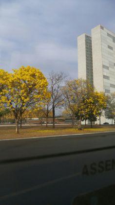 quando ipês amarelos floreceram para embelezar esse lugar cinza - congresso nacional