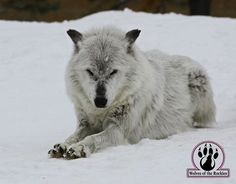 SAVE THE WOLVES - photo courtesy of Wolves of the Rockies.