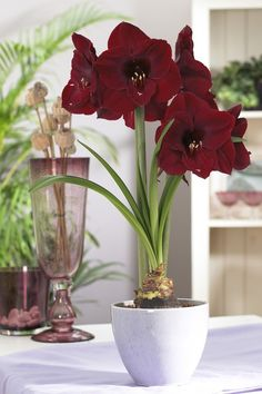 Amaryllis, Hippeastrum 'Queen of Night'