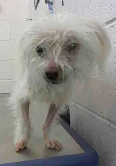 SAFE --- MILO (A1687676)I am a neutered male white Terrier. The shelter staff think I am about 9 years old. I was found as a stray and I may be available for adoption on 03/29/2015. — hier: Miami Dade County Animal Services. https://www.facebook.com/urgentdogsofmiami/photos/pb.191859757515102.-2207520000.1427146110./949797328388004/?type=3&theater
