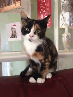 Calico Shorthair Cat
