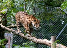 Sovereign the jaguar at Dartmoor Zoo - great poise. By Jag Man