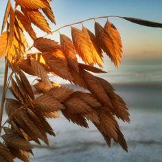 Sea Oats by Ashley Ingram October 2012 Palmetto Dunes Beach, Hilton Head Island, South Carolina
