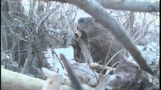 The Beavers great video of Beavers in Calgary working.