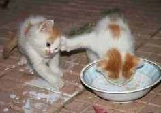 (Funny Cat Videos) Check out these greedy selfish funny cats and funny kittens that don't want to share their food. If you're up for funny cat videos and funny kitten videos check out . -- Click image to read more details. Baby Animals, Funny Animals, Cute Animals, Cute Kittens, Cats And Kittens, Kittens Playing, Foster Kittens, Kitty Cats, Funny Animal Pictures
