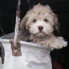 Havanese Poodle Yorkshire Terrier puppies for sale Havanese Dogs, Pet Dogs, Doggies, Havanese Haircuts, Havanese Puppies For Sale, Havanese Grooming, Maltipoo, Labradoodle, Poodle Mix Breeds