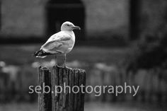 Seagull at fayette sebphoto.weebly.com