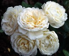 Cream Abundance™ - http://www.heirloomroses.com