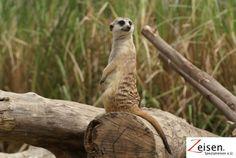 Erdmännchen im Zoo von Bangkok Bangkok, Thailand, Owl, Animals, Tour Operator, Viajes, Animales, Animaux, Owls