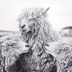Fine art black and white photography print of three adorable sheep by Allison Trentelman.