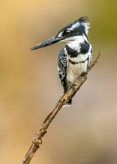 Pied Kingfisher (Ceryle rudis), Africa and Asia