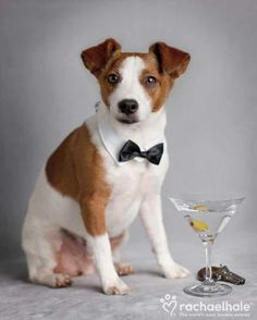 James (Toy Fox Terrier x Jack Russell) - It's Bond... James Bond!  (pic by Rachael Hale)