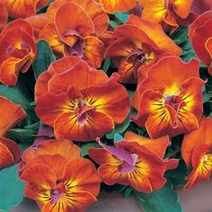 ANGEL AMBER KISS / Viola Single and semi-double brilliant bronze-orange blooms with whiskered yellow centers and rose reverses. They are extremely fragrant.