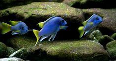 Metriaclima acei - yellow tail