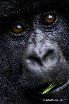 Mountain gorilla http://www.flickr.com/photos/igcp/