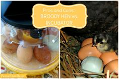 Pros and Cons of Hatching Chicks: Broody Hen vs. Incubator