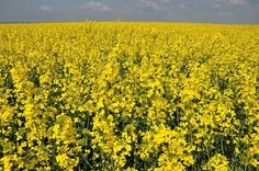 I just want to start skipping around in this field of yellow purtiness
